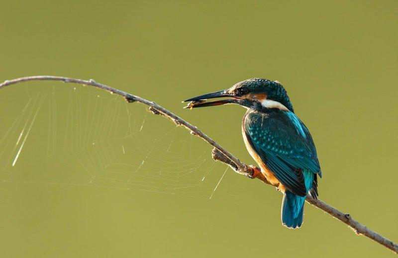 зимородок, птицы, паутина, Добыча взята, можно и сеть просушить.photo preview