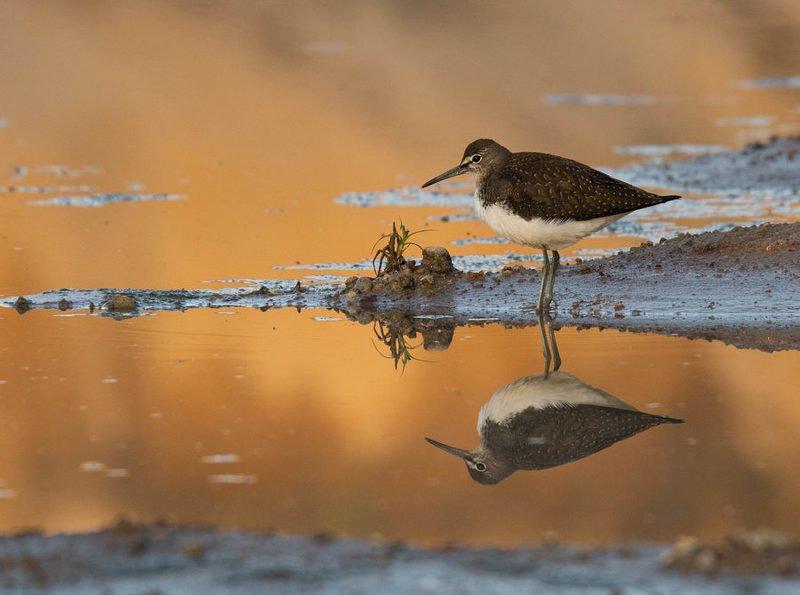 птицы, черныш, вода, отражение, Параллельный мирphoto preview