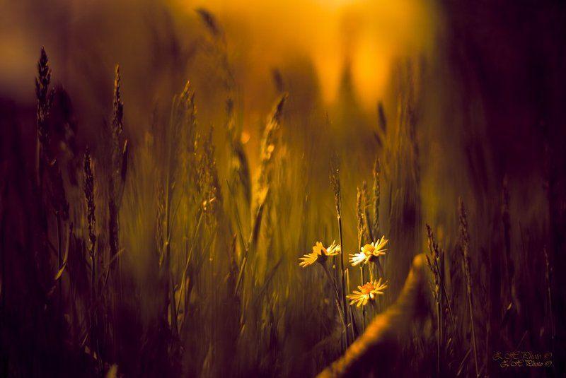 tall, grass, flowers, guardians, golden, tone Guardians of the hidden pathphoto preview
