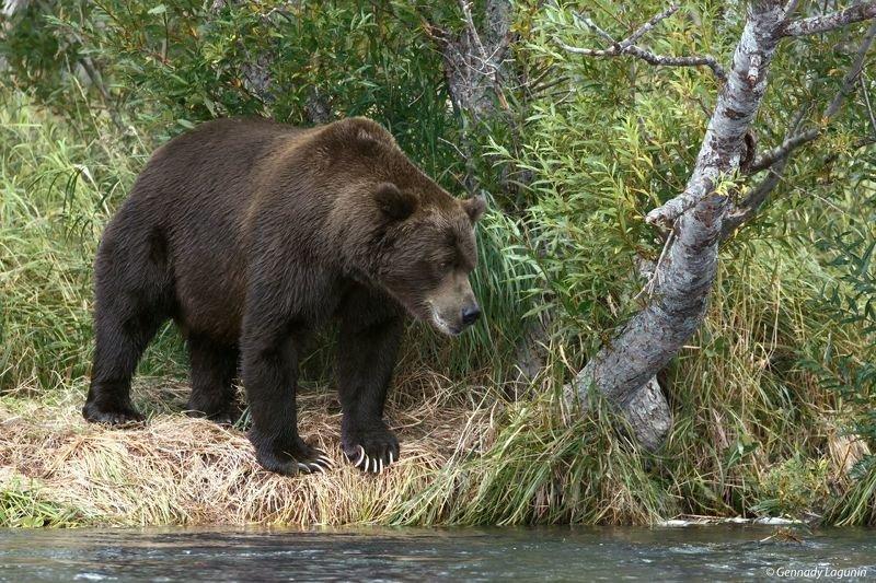 медведь, камчатка, bear, kamchatka ***photo preview