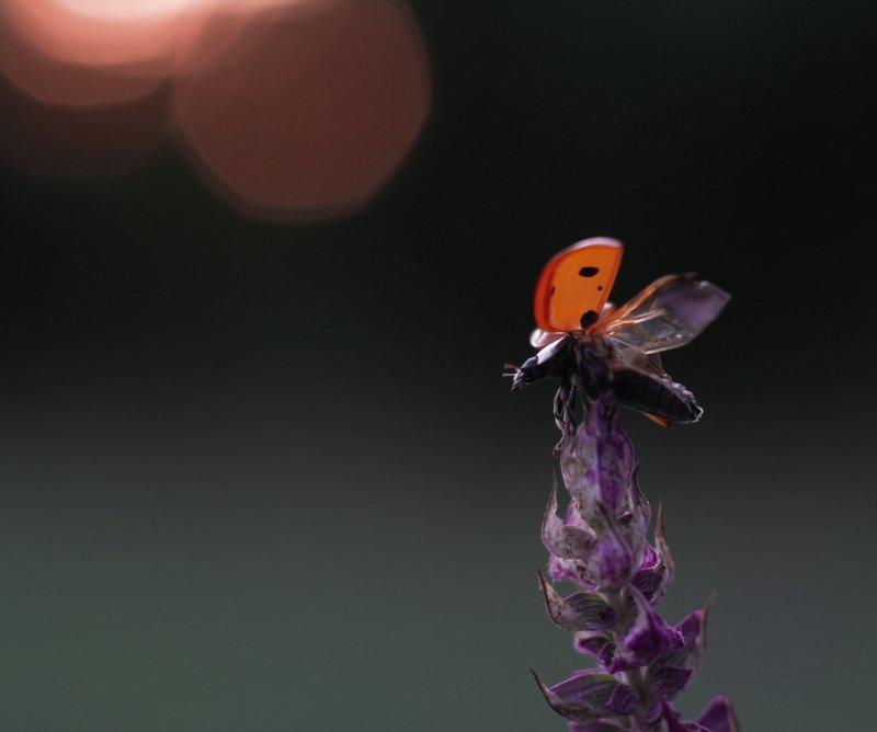 макро, природа, nature, macro, насекомые, insect, ladybug, божьякоровка На взлётphoto preview