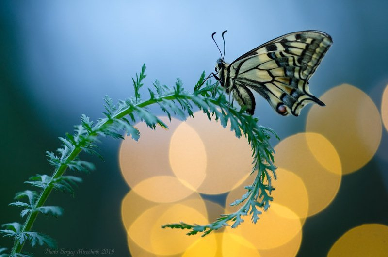 макро, махаон, весна, май, красиво, растение, насекомое, вечер, закат, украина Вечерние оттенкиphoto preview