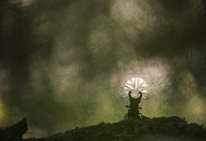 жук олень, макро, свет, великий, ра, лето, позитив, красаучег, Великий Ра.photo preview