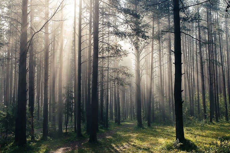 лес, утро, природа, туман, рассвет, Утро в лесуphoto preview