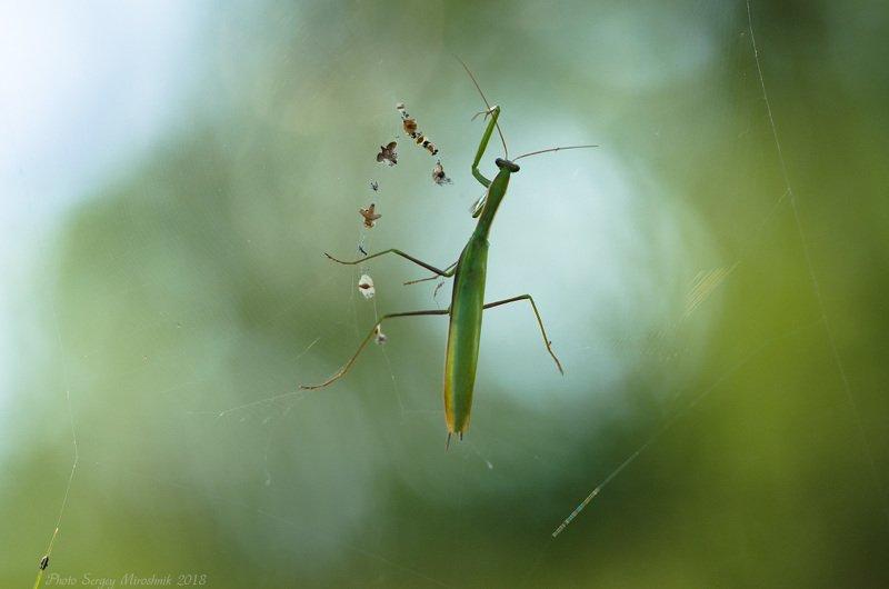 богомол, паутина, лето, зелёный, август, украина Невесомостьphoto preview