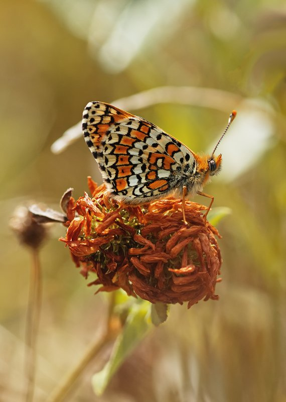 бабочка,лист,трава,солнце,крылья,свет,блик,цветок На клубочке нитокphoto preview