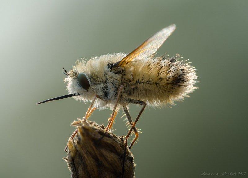 макро, муха, красиво, растение, насекомое, крылья, нос , жужжала, украина Жужжалаphoto preview