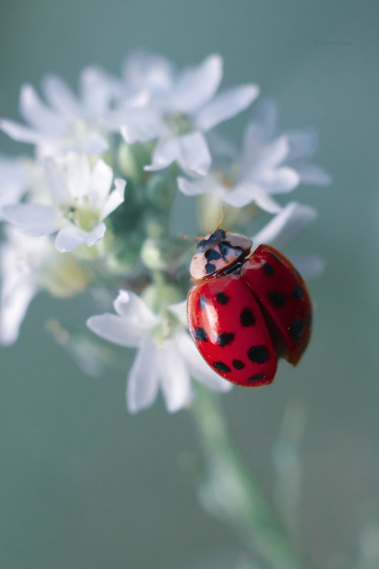 макро, природа, nature, macro, насекомые, insect, ladybug, ladybugs, божьякоровка photo preview