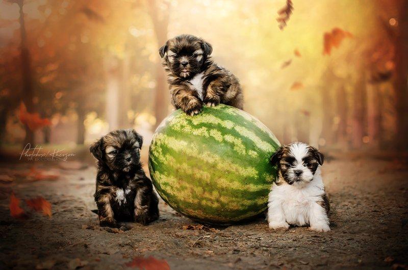 портрет, собаки, анималистика, осень Бандаphoto preview