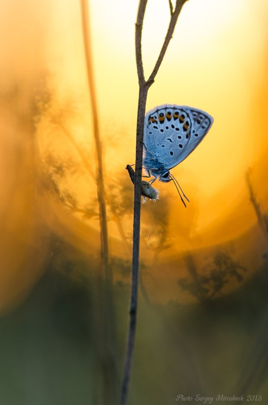 макро, бабочка, растение, август, лето, насекомое, солнце, закат, жара Жаркий, августовский закатphoto preview