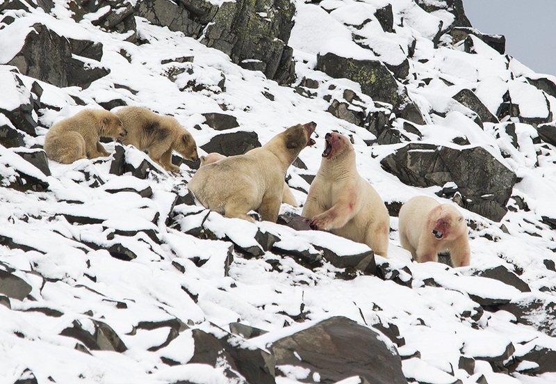 чукотка арктика север медведь полярный белый морской медвежата Спор...photo preview