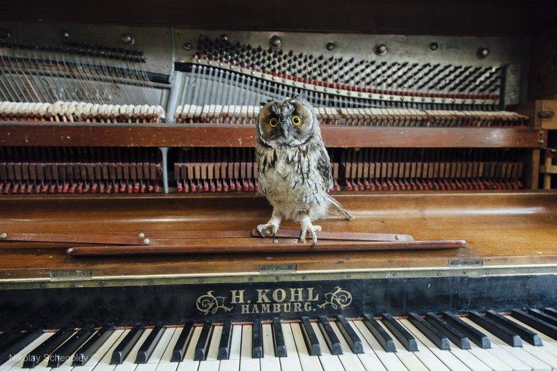 сова, owl, фортепиано,  Музыкальная соваphoto preview