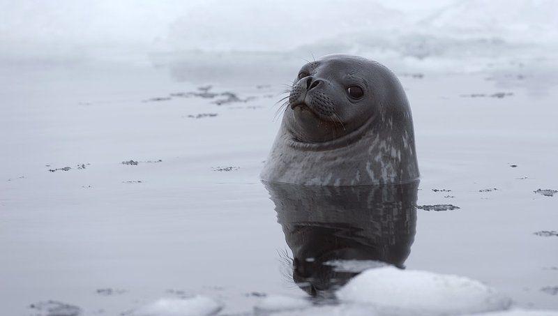 тюлень уэдделла, антарктика, king georg island Тюлень Уэдделла.photo preview