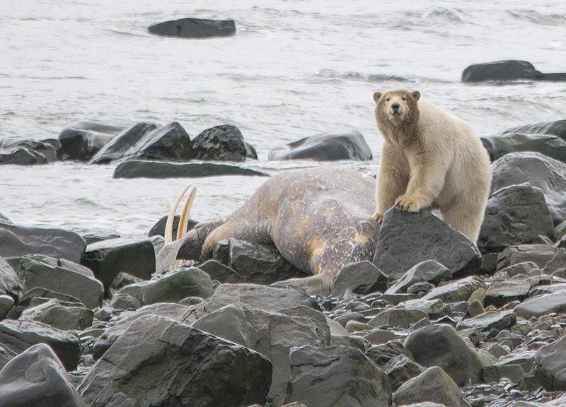 чукотка арктика морж медведь белый полярный морской У добычиphoto preview
