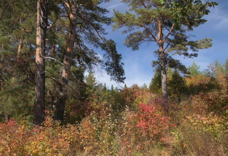 лес сосны деревья краски осень небо Уголок осеннего склонаphoto preview