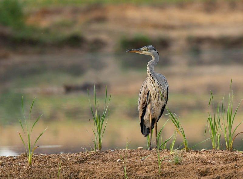 серая цапля, птицы, Серая хищницаphoto preview