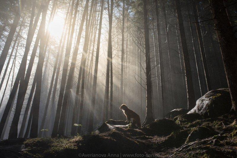 собака, туман, лес утро в лесуphoto preview
