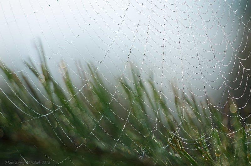 паук, паутина, макро, роса, сентябрь, осень,  украина Паутина на фоне ветки сосныphoto preview
