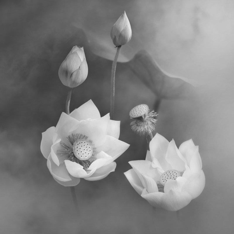 lotus, BW,  Lotusphoto preview