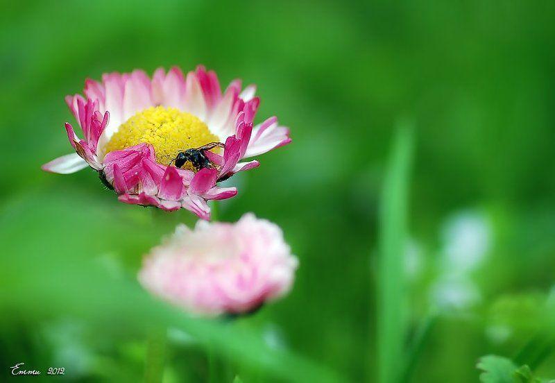 маргаритка, цветы, природа, весна, макро Маргариткаphoto preview