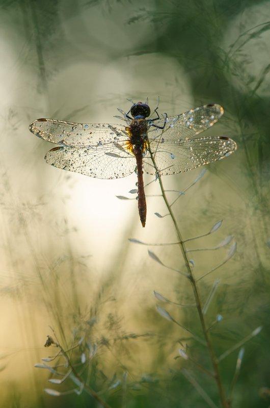 стрекоза, макро, вечер, лето, солнце, закат, растение, крылья Вечерняяphoto preview