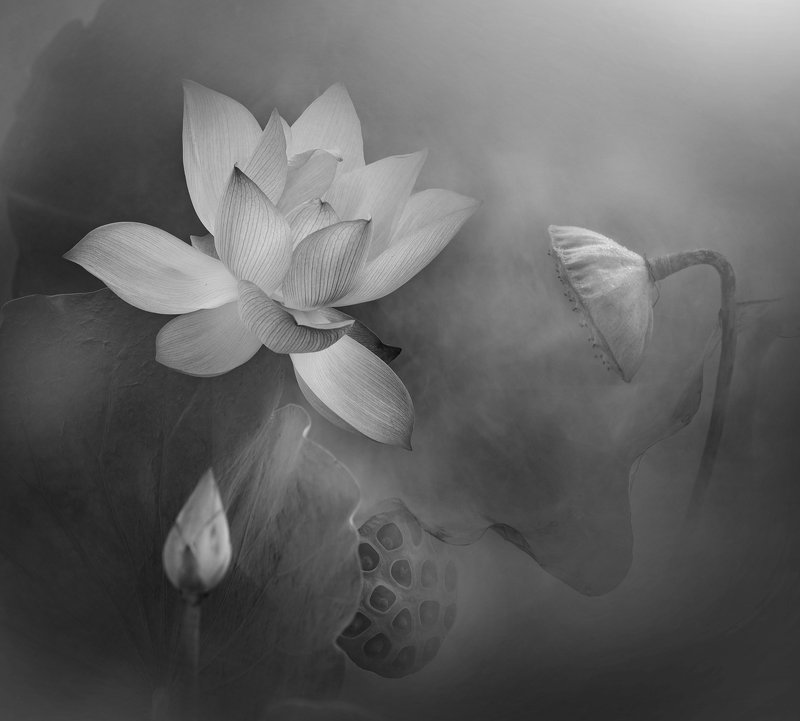 lotus, BW Lotus lifephoto preview