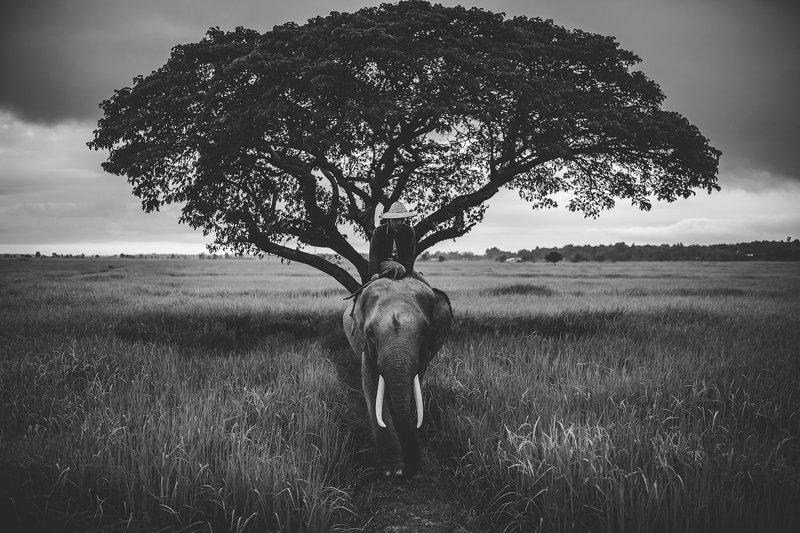 elephant,animal,Thai,Thailand,blackanndwhite,Asia, Outside Safariphoto preview