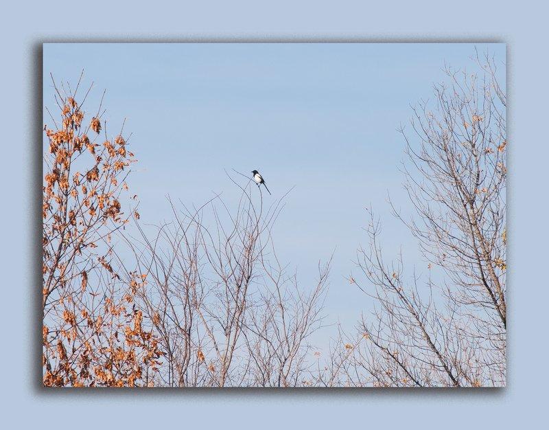 осень, небо, голубое небо, сорока, Под голубыми небесами осениphoto preview