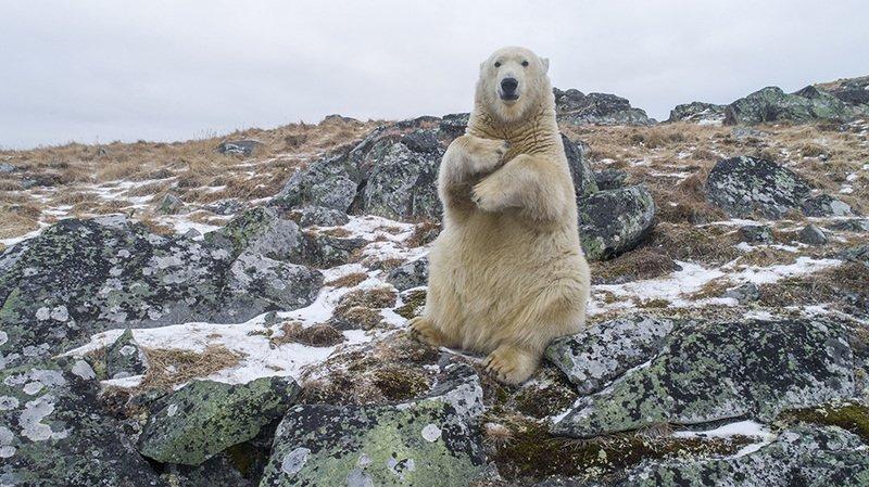 чукотка арктика мыс кожевникова медведь белый морской полярный .....photo preview