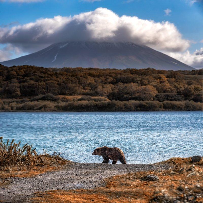 камчатка, медведи, медвежонок, медведь, kamchatka, bears, bear cub, bear хозяин Камчаткиphoto preview
