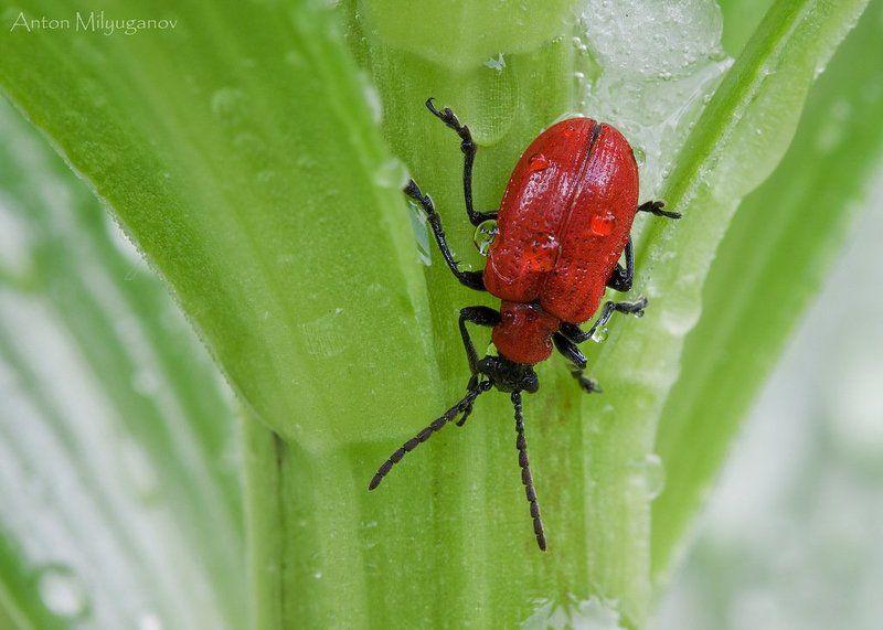 макро, насекомые, жук Трещалка лилейная (Lilioceris lilii)photo preview