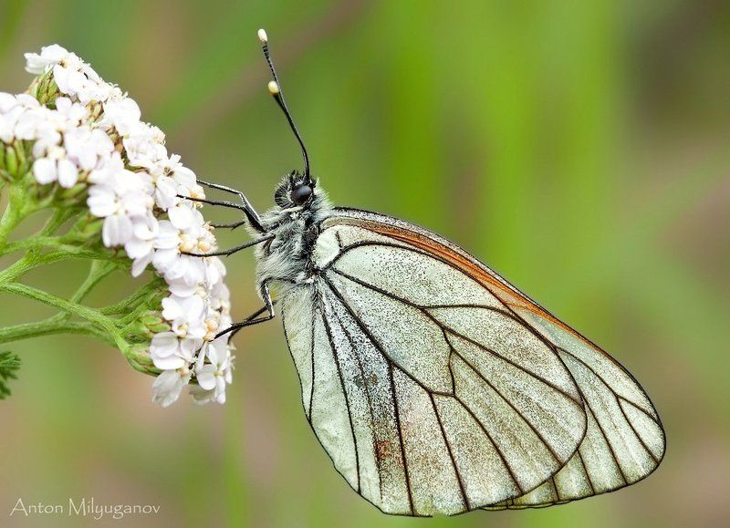 макро, насекомые, бабочка Боярышница (Aporia crataegi)photo preview