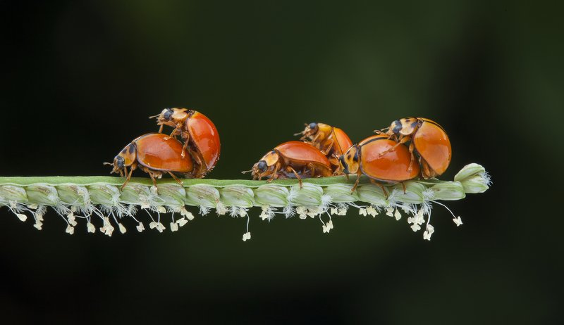 #macro#ladybug#colors#mating Sex Party Of Bugsphoto preview