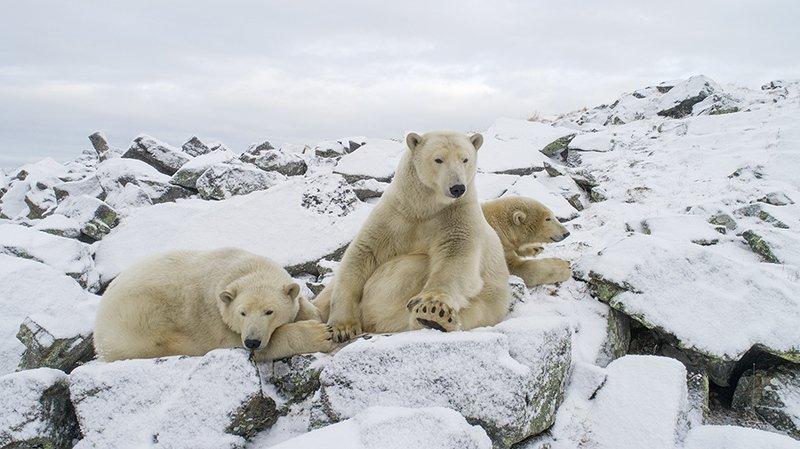 чукотка арктика север мыс кожевникова медведь белый полярный морской Семья...photo preview