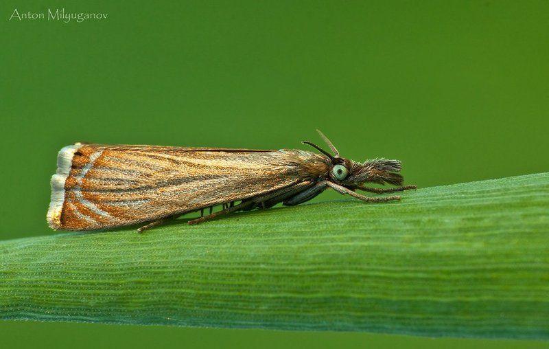 макро, насекомые, бабочка Травянка соломенная (Chrysoteuchia culmella)photo preview