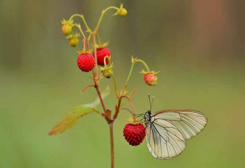 Сон бабочки в летнюю ночь навеянный запахом земляникиphoto preview