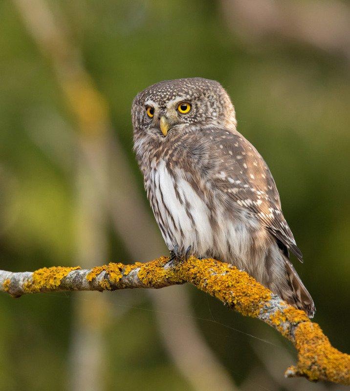 воробьиный сычик, птицы, сова, Уверенность и спокойствиеphoto preview