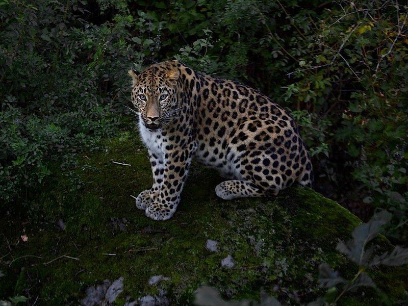 приморье,россия,амурский леопард,природа,скала дальневосточный леопардphoto preview