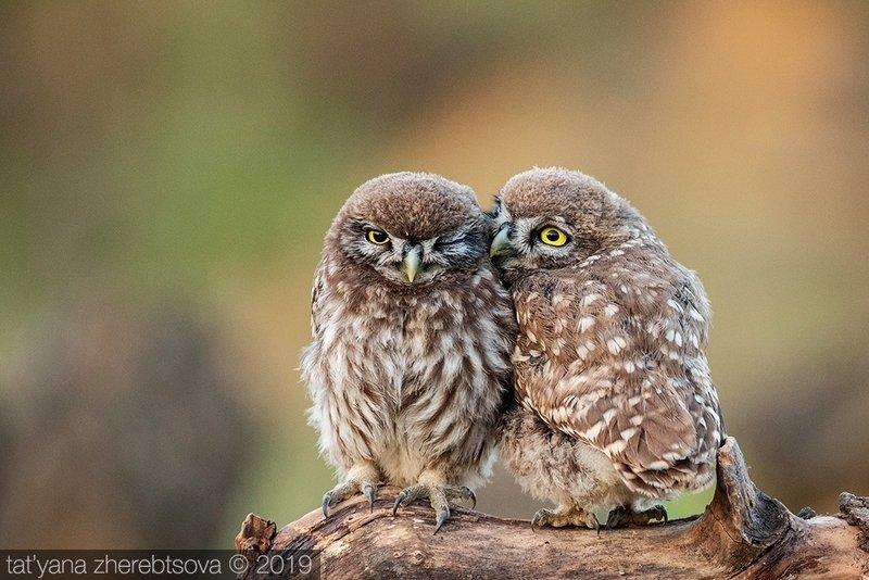 my-mriya, owl Домовые сычиphoto preview
