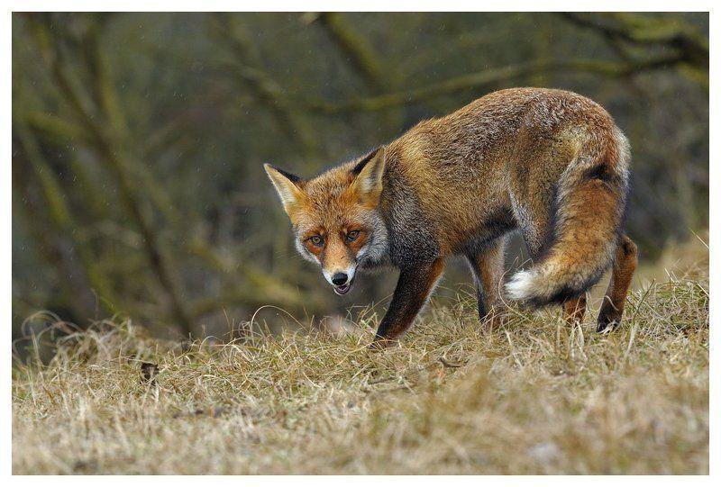 лиса , vulpes vulpes , дюны , нидерланды Лисица чует сыр...photo preview