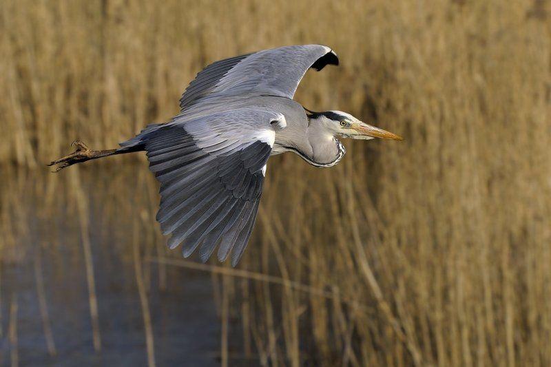серая цапля, grey heron, ardea cinerea Цапля серая - в камыши...photo preview