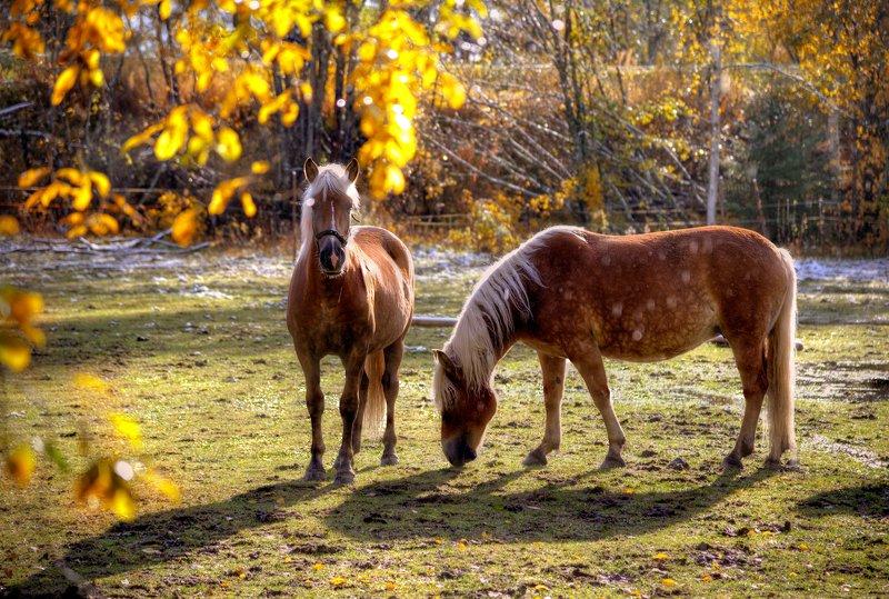 Финские лошадки погожим осенним днемphoto preview