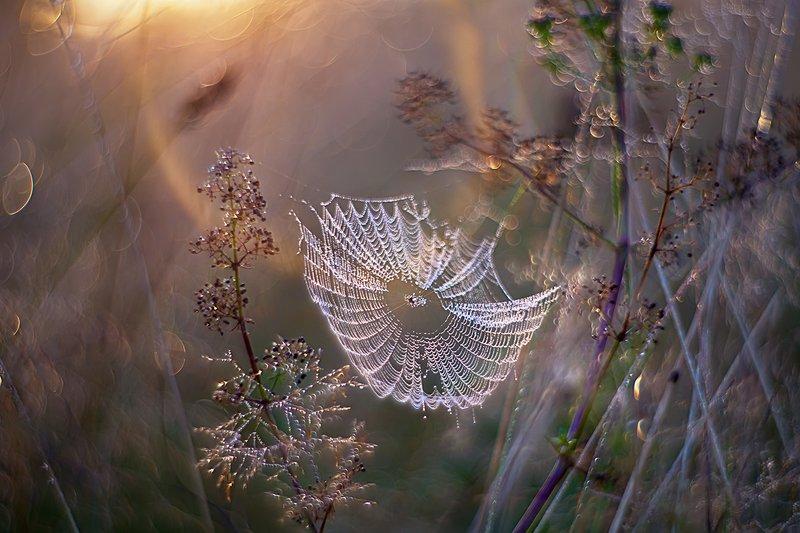 макро, роса, природа, утро, паутина Ловушки утренних сновphoto preview