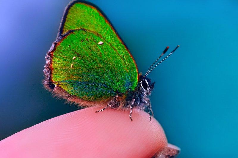 природа, бабочки, голубянка малинница Ты, да я, да мы с тобой...photo preview