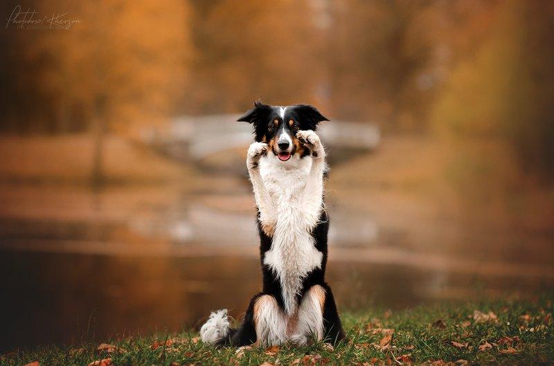 осень, портрет, движение, собака, анималистика Бордер коллиphoto preview