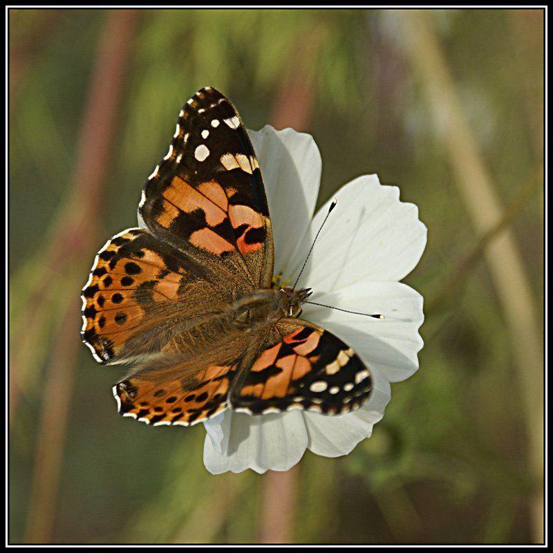 макро, бабочка Охота на бабочекphoto preview