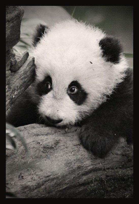 панда, san diego Панда Су-Линьphoto preview