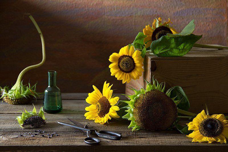 elena alimova, натюрморт, подсолнухи Завершая сезонphoto preview
