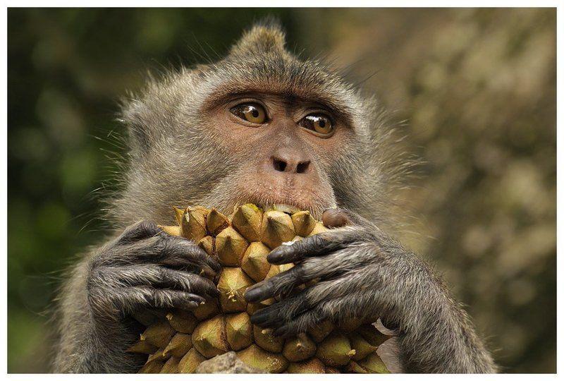макак-крабоед, дуриан, бали, индонезия, macaca fascicularis, durian, bali, indonesia Макак-крабоед на дуриановой диетеphoto preview