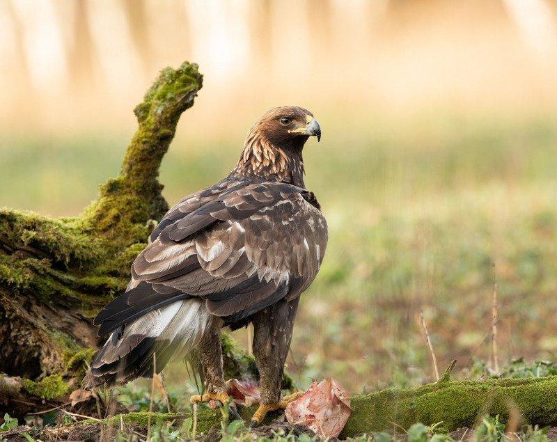 беркут, птицы, хищник, Повелитель небесphoto preview